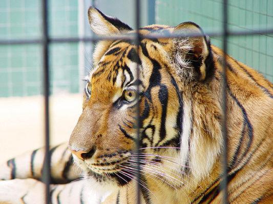 tigre-enjaulado.jpg